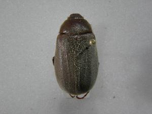 (Phyllophaga kohlmanniana - INBIOCRI002379593)  @13 [ ] Copyright (2010) A. Solis Instituto Nacional de Biodiversidad