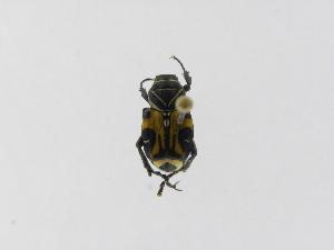 (Trigonopeltastes sallaei - INBIOCRI002384192)  @12 [ ] Copyright (2010) A. Solis Instituto Nacional de Biodiversidad