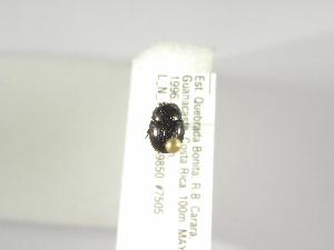 (Ateuchus howdeni - INBIOCRI002398450)  @11 [ ] Copyright (2010) A. Solis Instituto Nacional de Biodiversidad