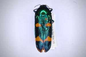 (Buprestidae - INBIOCRI002400302)  @16 [ ] Copyright (2012) Angel Solis Instituto Nacional de Biodiversidad
