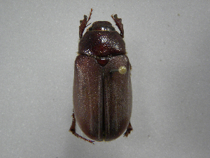 (Phyllophaga monteverdosa - INBIOCRI002400605)  @12 [ ] Copyright (2010) A. Solis Instituto Nacional de Biodiversidad