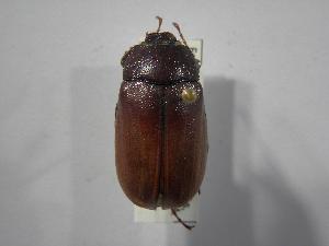 (Phyllophaga puntarenosa - INBIOCRI002433942)  @11 [ ] Copyright (2010) A. Solis Instituto Nacional de Biodiversidad
