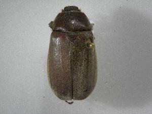 (Phyllophaga nevermanneaAS1 - INBIOCRI002440315)  @13 [ ] Copyright (2010) A. Solis Instituto Nacional de Biodiversidad