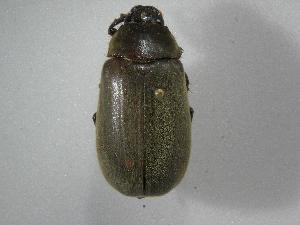 (Phyllophaga nevermannea - INBIOCRI002443018)  @13 [ ] Copyright (2010) A. Solis Instituto Nacional de Biodiversidad