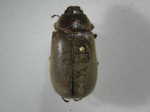 (Phyllophaga nevermannea - INBIOCRI002443023)  @11 [ ] Copyright (2010) A. Solis Instituto Nacional de Biodiversidad
