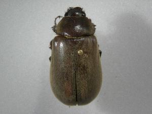 (Phyllophaga nevermanneaAS2 - INBIOCRI002443024)  @13 [ ] Copyright (2010) A. Solis Instituto Nacional de Biodiversidad