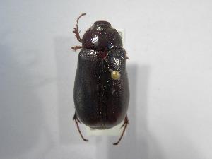 (Phyllophaga tapantina - INBIOCRI002443028)  @11 [ ] Copyright (2010) A. Sol's Instituto Nacional de Biodiversidad