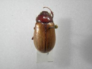 (Phyllophaga favosa - INBIOCRI002464549)  @11 [ ] Copyright (2010) A. Solis Instituto Nacional de Biodiversidad