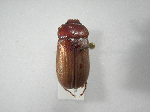 (Phyllophaga guapilana - INBIOCRI002464599)  @11 [ ] Copyright (2010) A. Solis Instituto Nacional de Biodiversidad
