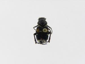 (Trigonopeltastes archimedes - INBIOCRI002473866)  @13 [ ] Copyright (2010) A. Solis Instituto Nacional de Biodiversidad