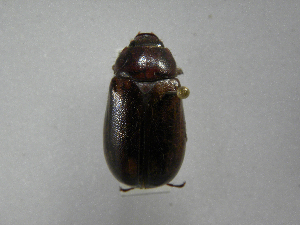 (Phyllophaga morganellaAS2 - INBIOCRI002556164)  @13 [ ] Copyright (2010) A. Solis Instituto Nacional de Biodiversidad