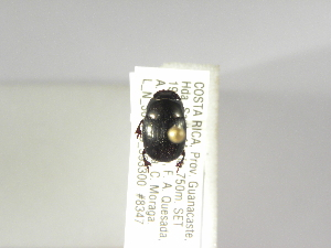 (Ateuchus hendrichsi - INBIOCRI002557160)  @13 [ ] Copyright (2010) A. Solis Instituto Nacional de Biodiversidad