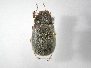 (Phyllophaga guapiloides - INBIOCRI002601809)  @11 [ ] Copyright (2010) A. Solis Instituto Nacional de Biodiversidad