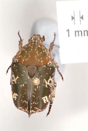 (Protaetia fusca - MIC60422-008)  @14 [ ] Copyright (2013) Christian Moeseneder MIC