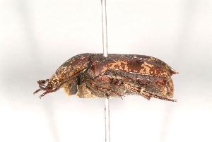 (Protaetia fusca - MIC60482-001)  @14 [ ] Copyright (2013) Christian Moeseneder MIC