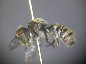 (Megachile sp. RLCR4 - RL1795B)  @13 [ ] CreativeCommons - Attribution Non-Commercial Share-Alike (2012) Remko Leijs South Australian Museum