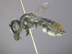 (Megachile sp. RLCR5 - RL1792B)  @14 [ ] CreativeCommons - Attribution Non-Commercial Share-Alike (2012) Remko Leijs South Australian Museum