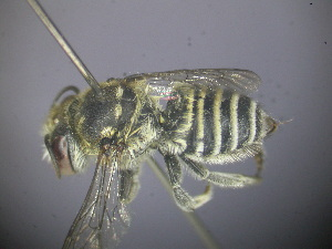 (Megachile sp. RLWB1 - RL1587B)  @14 [ ] by-nc-sa - Creative Commons - Attribution Non-Comm Share-Alike (2012) Remko Leijs South Australian Museum
