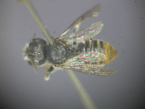 (Megachile sp. RLWB2 - RL1668)  @13 [ ] CreativeCommons - Attribution Non-Commercial Share-Alike (2012) Remko Leijs South Australian Museum