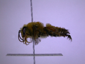 (Goniocolletes - CCDB-03790-C4)  @14 [ ] CreativeCommons - Attribution Non-Commercial Share-Alike (2013) Remko Leijs South Australian Museum