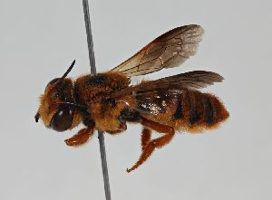 (Megachile sp. RLCR2 - RL1783)  @11 [ ] CreativeCommons - Attribution Non-Commercial Share-Alike (2012) Remko Leijs South Australian Museum
