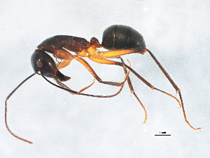 (Camponotus gouldianus - BIOUG02492-E03)  @12 [ ] CreativeCommons - Attribution Non-Commercial Share-Alike (2013) BIO Photography Group Biodiversity Institute of Ontario