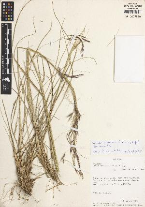 (Nassella neesiana - RA16)  @11 [ ] CreativeCommons – Attribution Non-Commercial Share-Alike (2014) James Solomon Missouri Botanical Garden, P.O. Box 299, St. Louis, Missouri, 63166-0299, U.S.A.