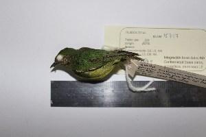 (Lepidothrix - MHNSM MUSM-Orn-15717)  @11 [ ] Copyright (2014) Unspecified Museo de Historia Natural