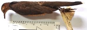(Leptotila ochraceiventris - MUSM-Orn-19207)  @11 [ ] copyright (2014) Unspecified Museo de Historia Natural