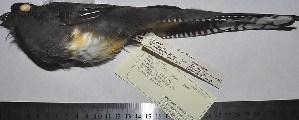 (Trogon viridis - MHNSM MUSM-Orn-21011)  @11 [ ] Copyright (2014) Unspecified Museo de Historia Natural