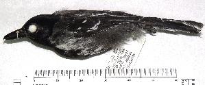 (Sakesphorus - MUSM-Orn-25328)  @11 [ ] copyright (2014) Unspecified Museo de Historia Natural