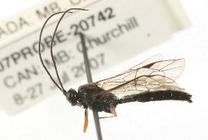 (Ichneumonidae sp. MAS BIN299 - 07PROBE-20742)  @11 [ ] CreativeCommons - Attribution Non-Commercial Share-Alike (2009) BIO Photography Group Biodiversity Institute of Ontario