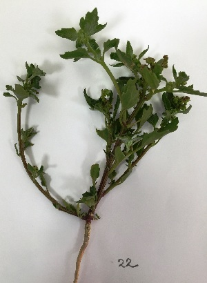 (Chenopodium murale - BAHMP022040117)  @11 [ ] Unspecified (default): All Rights Reserved (2017) Muhammad Farooq Arabian Gulf University, Agriculture Biotechnology