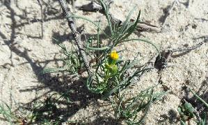 (Senecio glaucus - BAHMP027311216B)  @11 [ ] Unspecified (default): All Rights Reserved (2016) Dr. AbdulAziz M.A. Mohamed Arabian Gulf University, Agriculture Biotechnology