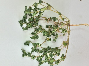 (Frankenia pulverulenta - BAHMP063120417R)  @11 [ ] Unspecified (default): All Rights Reserved (2017) Dr. Malabika Roy Pathak Arabian Gulf University, Agriculture Biotechnology