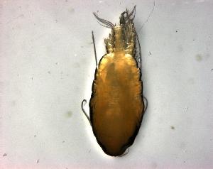 (Phaennidae - BALAP17)  @11 [ ] Copyright (2011) Sergio Hernandez Trujillo Instituto Politecnico Nacional-cicimar