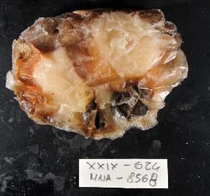 (Chlamydinae - MNA8568)  @11 [ ] Copyright (2016) Stefano S. Italian National Antarctic Museum