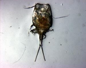 (Sapphirinidae - IMAG4-27)  @13 [ ] Copyright (2011) Sergio Hernandez Trujillo Instituto Politecnico Nacional-cicimar
