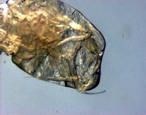 (Sapphirinidae - IMAG4-28)  @13 [ ] Copyright (2011) Sergio Hernandez Trujillo Instituto Politecnico Nacional-cicimar