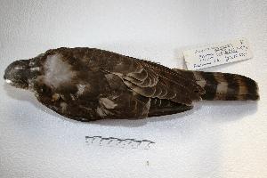 ( - MACN-Or-cp 15)  @13 [ ] Copyright (2014) MACN Museo Argentino de Ciencias Naturales, Bernardino Rivadavia