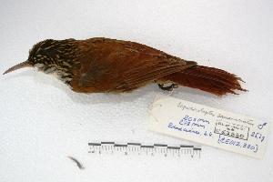 (Lepidocolaptes - MACN-Or-cp 44)  @13 [ ] Copyright (2014) MACN Museo Argentino de Ciencias Naturales, Bernardino Rivadavia