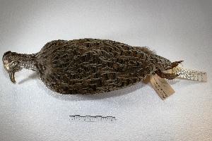 (Nothoprocta - MACN-Or-cp 79)  @13 [ ] Copyright (2014) MACN Museo Argentino de Ciencias Naturales, Bernardino Rivadavia