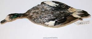 "(Anas sibilatrix - MACN-Or-ct 251)  @13 [ ] Copyright (2012) MACN Museo Argentino de Ciencias Naturales ""Bernardino Rivadavia"""