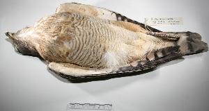 "(Rupornis - MACN-Or-ct 265)  @14 [ ] Copyright (2012) MACN Museo Argentino de Ciencias Naturales ""Bernardino Rivadavia"""