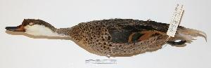 "(Anas bahamensis - MACN-Or-ct 273)  @13 [ ] Copyright (2012) MACN Museo Argentino de Ciencias Naturales ""Bernardino Rivadavia"""
