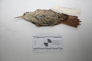 "(Lepidocolaptes - MACN-Or-ct 1351)  @13 [ ] Copyright (2012) MACN Museo Argentino de Ciencias Naturales ""Bernardino Rivadavia"""