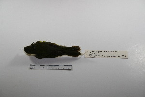 "( - MACN-Or-ct 1374)  @12 [ ] Copyright (2012) MACN Museo Argentino de Ciencias Naturales ""Bernardino Rivadavia"""