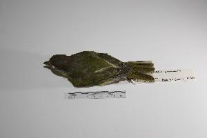 "( - MACN-Or-ct 1383)  @12 [ ] Copyright (2012) MACN Museo Argentino de Ciencias Naturales ""Bernardino Rivadavia"""