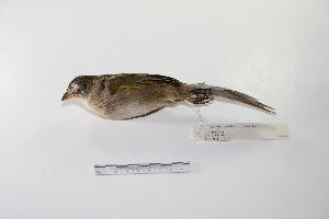 "(Emberizoides - MACN-Or-ct 1468)  @14 [ ] Copyright (2012) MACN Museo Argentino de Ciencias Naturales ""Bernardino Rivadavia"""