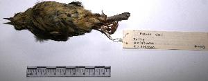 "( - MACN-Or-ct 1473)  @12 [ ] Copyright (2012) MACN Museo Argentino de Ciencias Naturales ""Bernardino Rivadavia"""